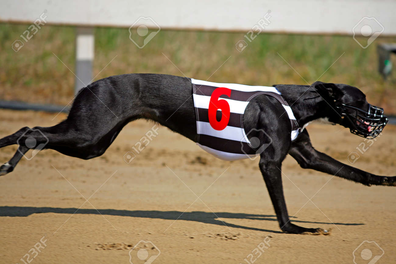 犬レース宮廷グレイハウンド ド...