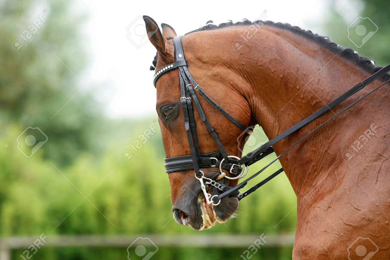 Head Shot Of A Thoroughbred Racehorse With Beautiful Trappings Under Saddle During Training Stock Photo