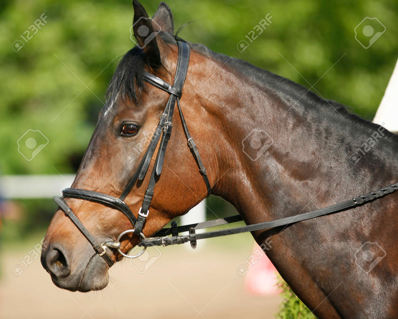 Head Shot Closeup Of A Young Horse On Show Jumping Event Side Stock Photo Picture And Royalty Free Image Image 80563815
