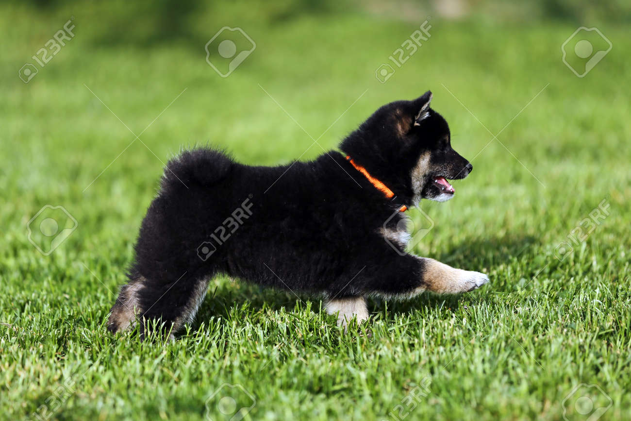 Beautiful Japanese Shiba Inu Puppy Dog Running In The Garden Stock