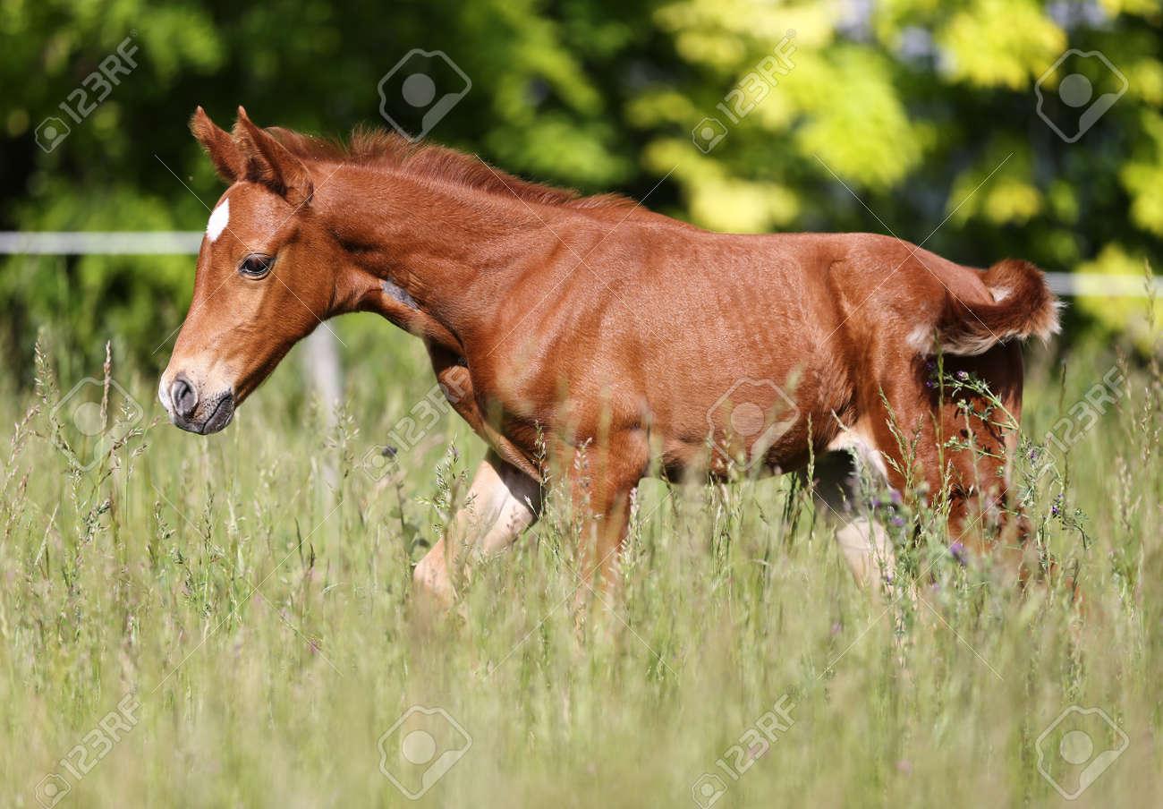 Thoroughbred Chestnut Horse Foal Runs Across Summer Pasture