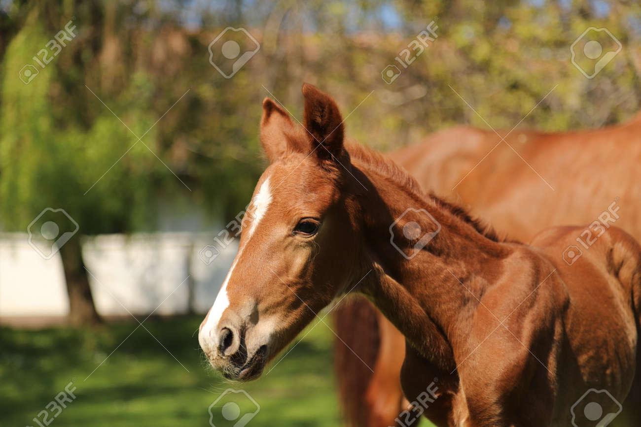 Closeup photo of a on day old newborn gidran colt at rural animal farm - 121863726