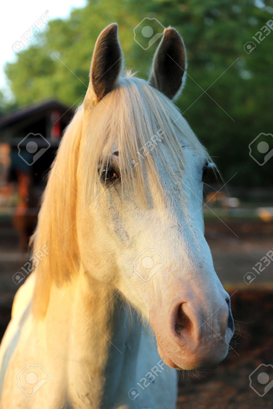 Portrait Of A Purebred Gray Arabian Stallion Closeup Of A Young Stock Photo Picture And Royalty Free Image Image 127774485