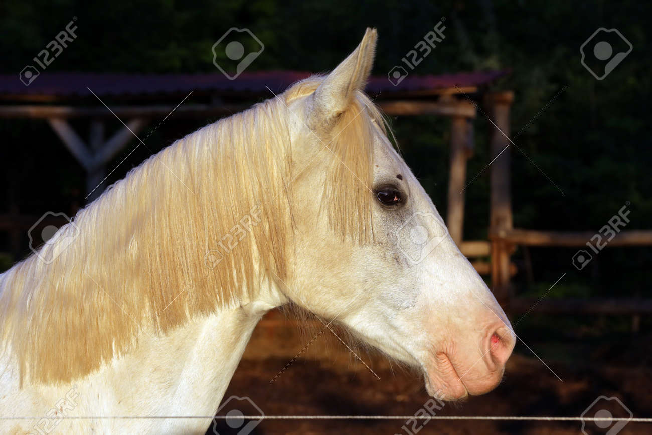 Portrait Of A Purebred Gray Arabian Stallion Closeup Of A Young Stock Photo Picture And Royalty Free Image Image 127774486