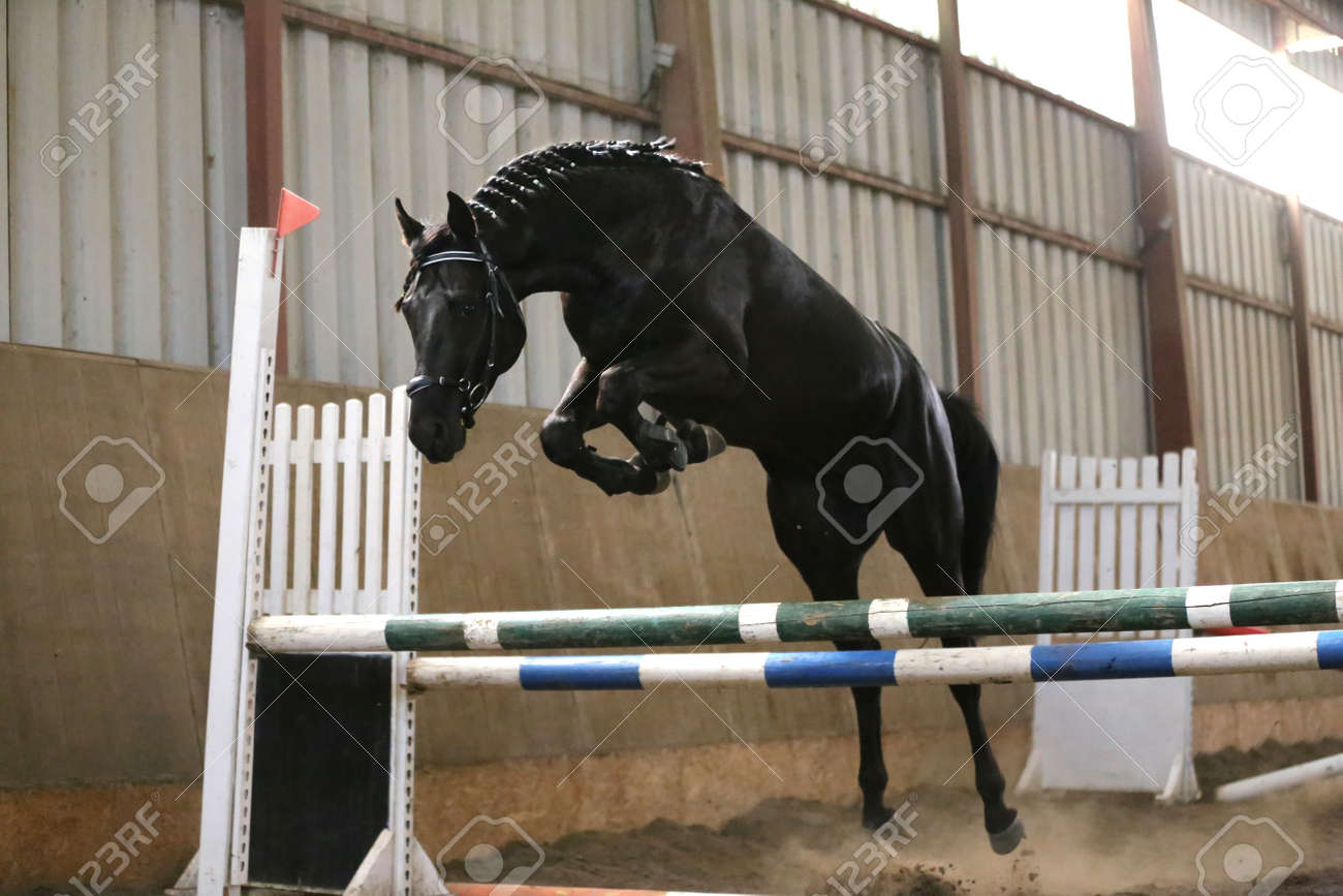 Thoroughbred Young Sport Horse Jumping Over Obstacles In The Stock Photo Picture And Royalty Free Image Image 153517793