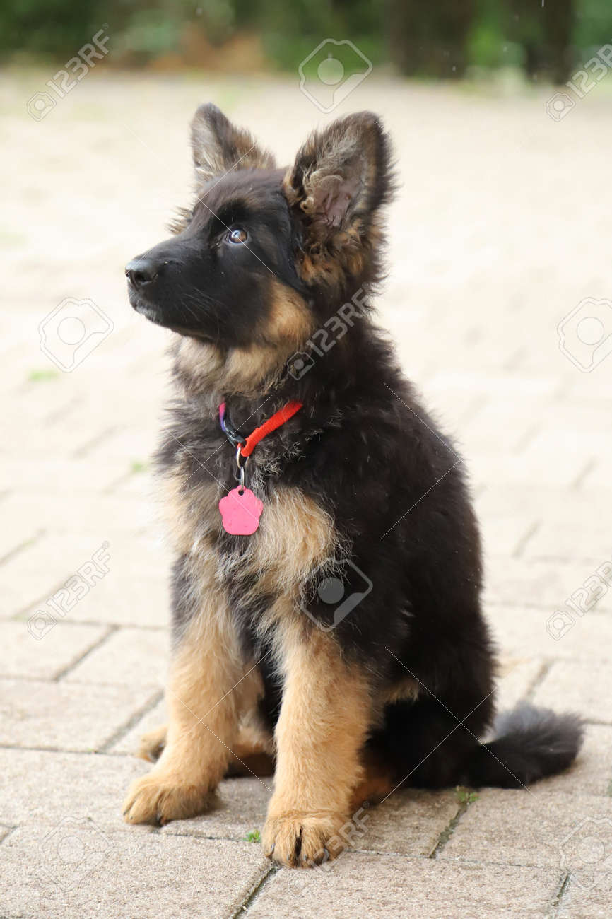 Portrait Of A Black And Tan Long Haired German Shepherd Puppy Stock Photo Picture And Royalty Free Image Image 154201129