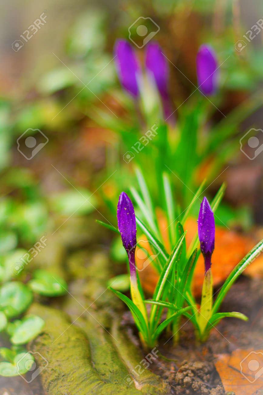 Liliac Krokusse Die Ersten Blumen Des Fruhlings Nur Um Zu Bluhen