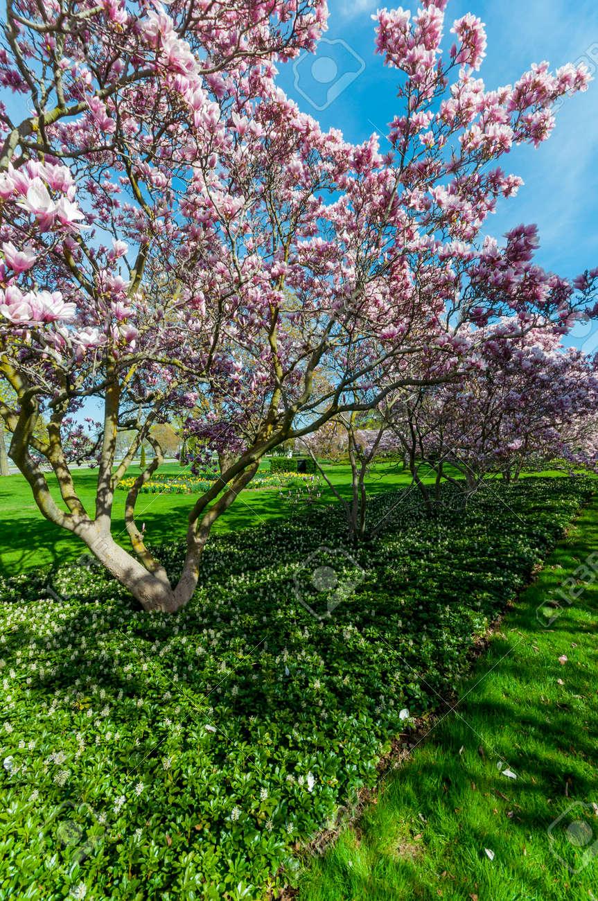 Beautiful Outdoor Scenery Of Magnolia Trees Blossom In Niagara ...