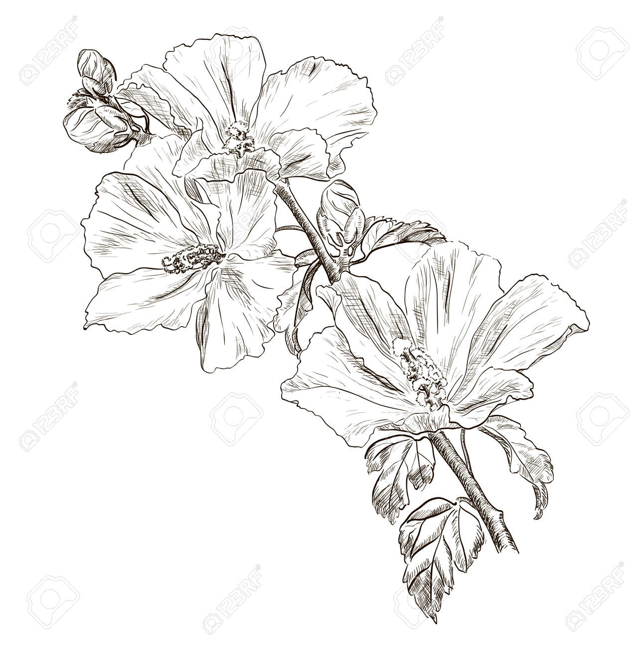How to draw hibiscus flowers step by step how to draw a hibiscus hand drawing hibiscus flower stock vector izmirmasajfo