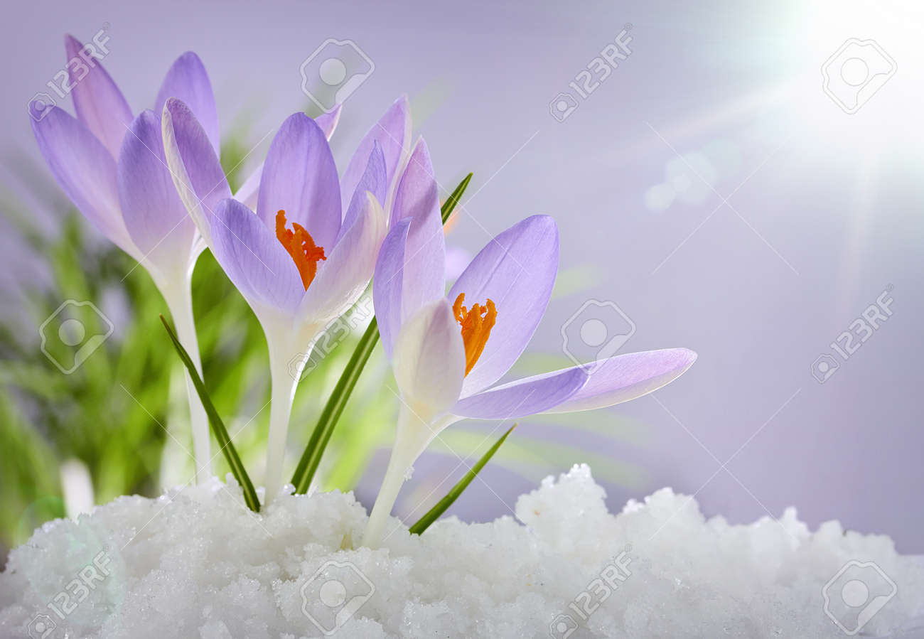 The First Spring Flowers Crocuses In A Forest With Snow Stock Photo