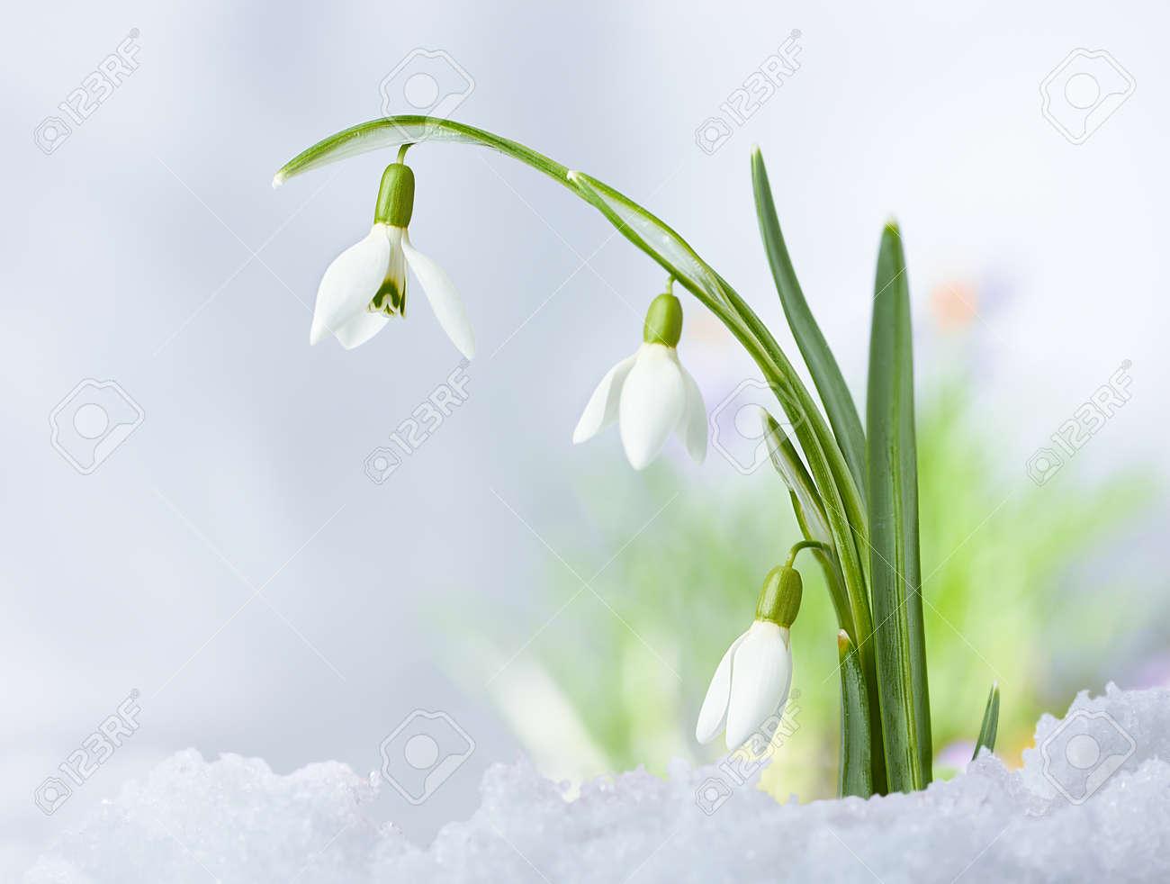 beautifull spring snowdrop flowers on snow background stock photo
