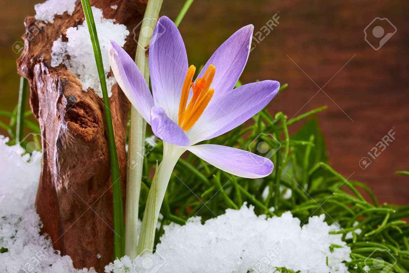The first spring flowers crocuses in a forest with snow stock photo stock photo the first spring flowers crocuses in a forest with snow mightylinksfo
