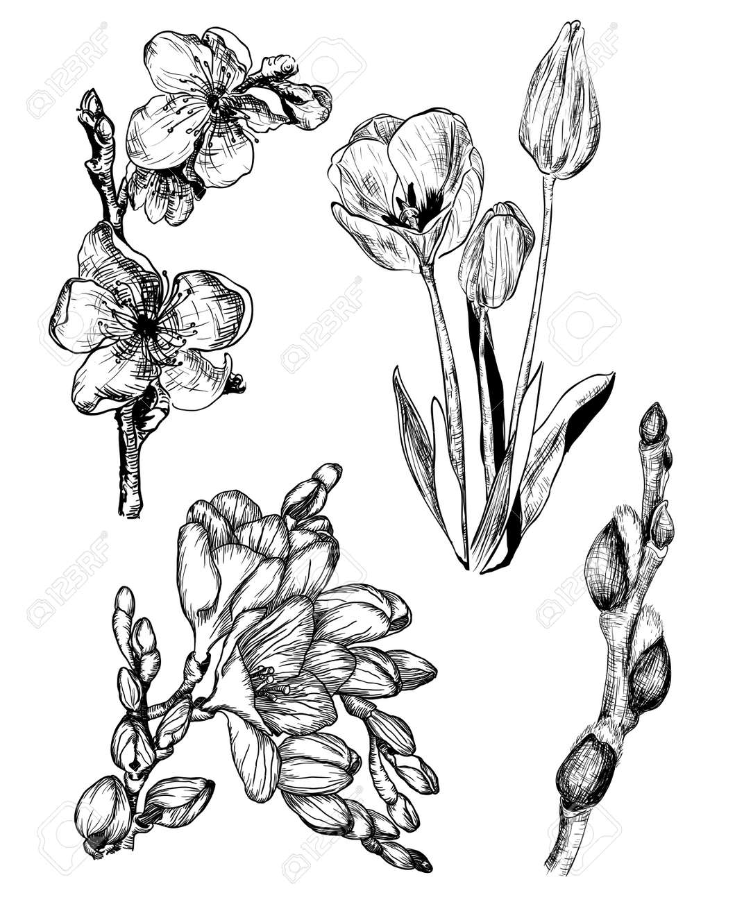 Vector Illustration Of Spring Flowers In Sketch Style Sakura Tulip Freesia And Willow Buds Stock