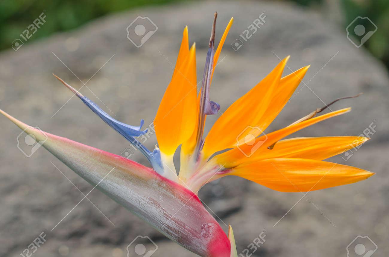 Strelitzia Reginae Fleur Gros Plan Oiseau De Paradis De Fleurs