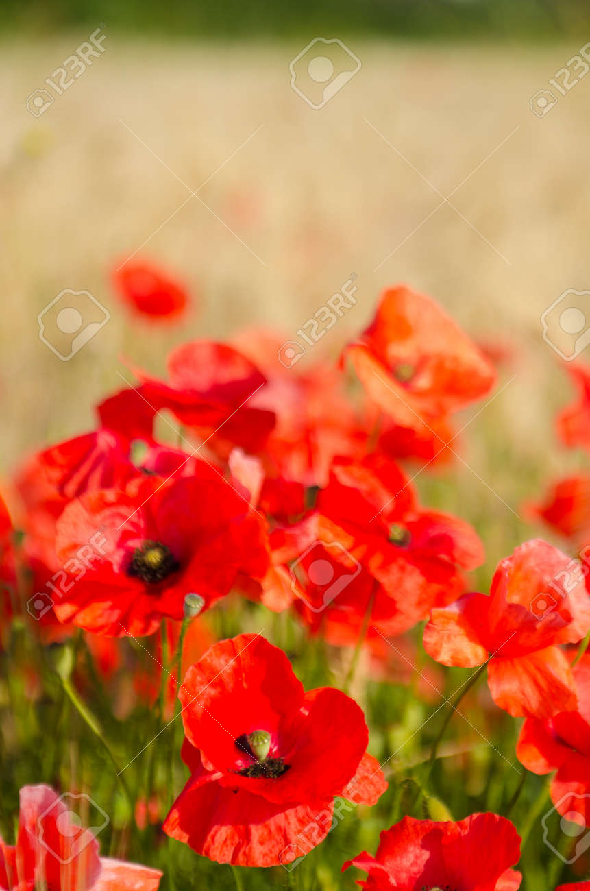 Color Contrast: Red Poppy And Yelow Wheat, Poppies In Wheat Field ...