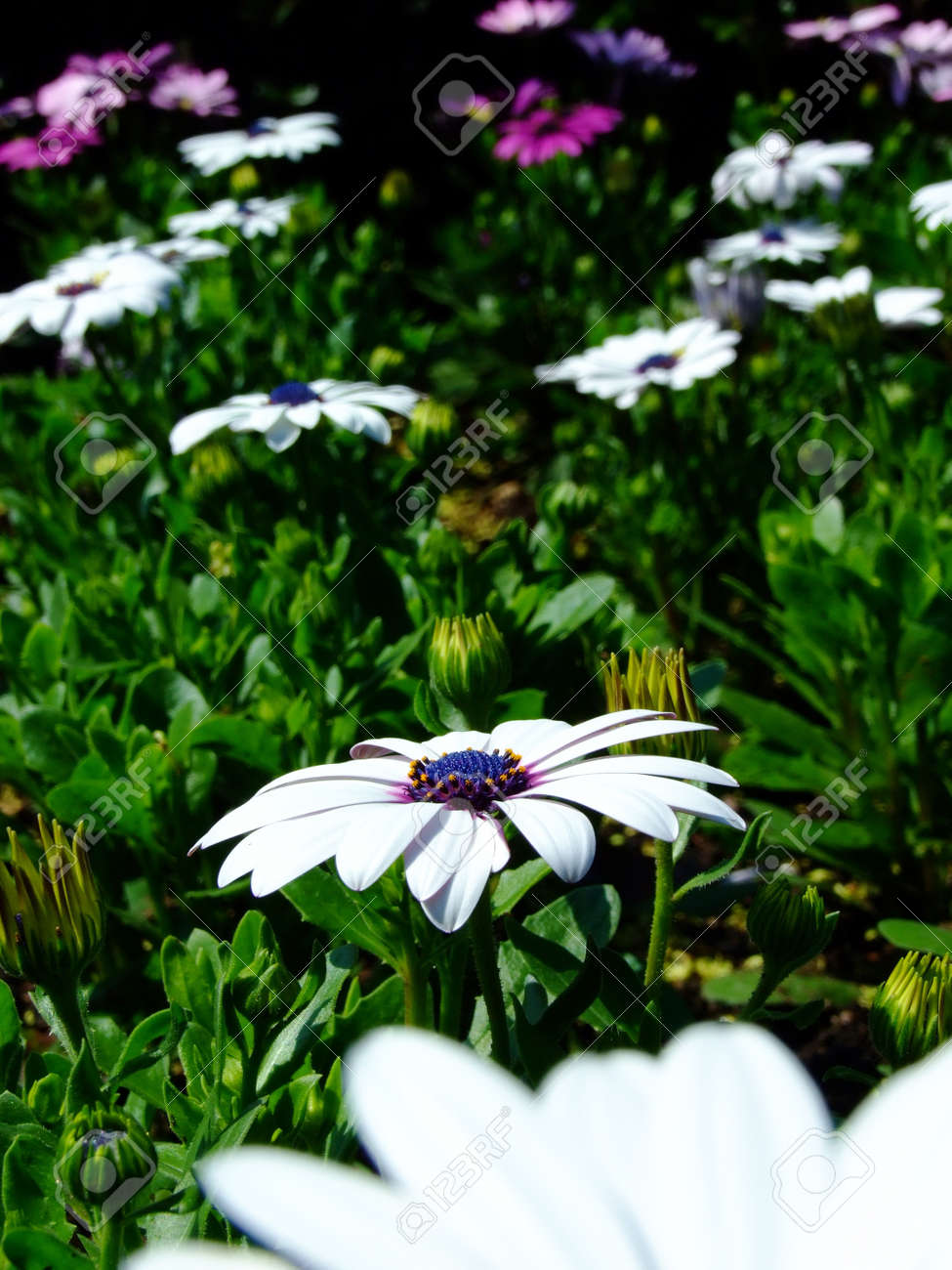 White Flower With Purple Spot In The Garden Stock Photo Picture And