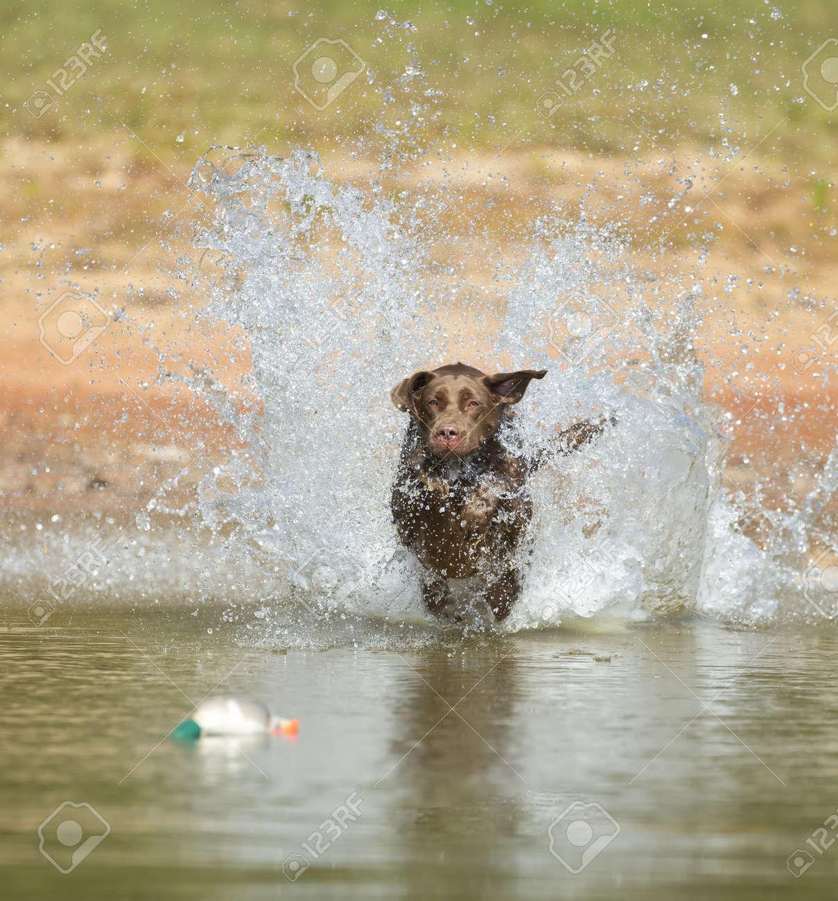 A Chocolate Labrador jumps into a lake as he trains to retrieve decoys Stock Photo - 15946006