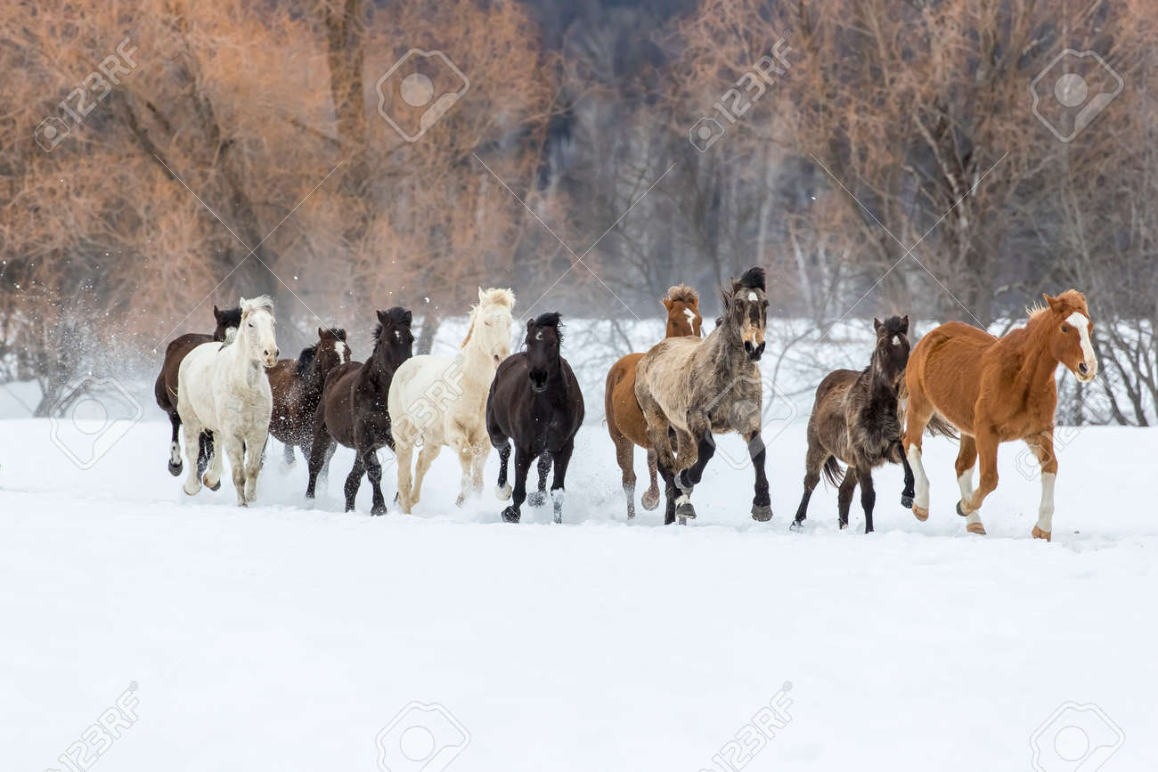 A herd of horses running through the snow in the mountains - 73527168