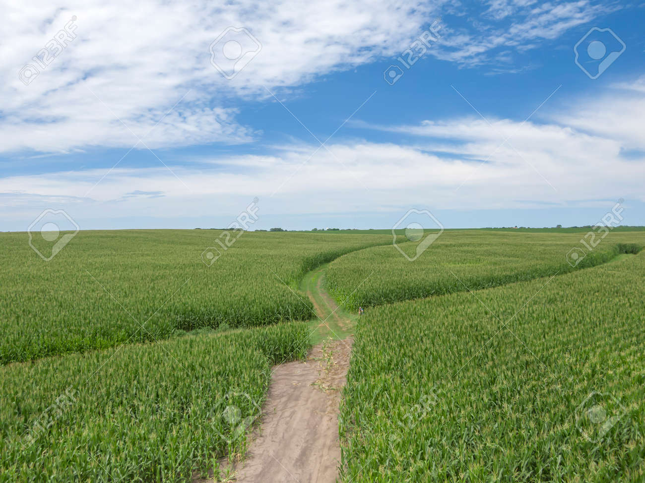 Green field of young corn in the American Midwestdefault - 153632147