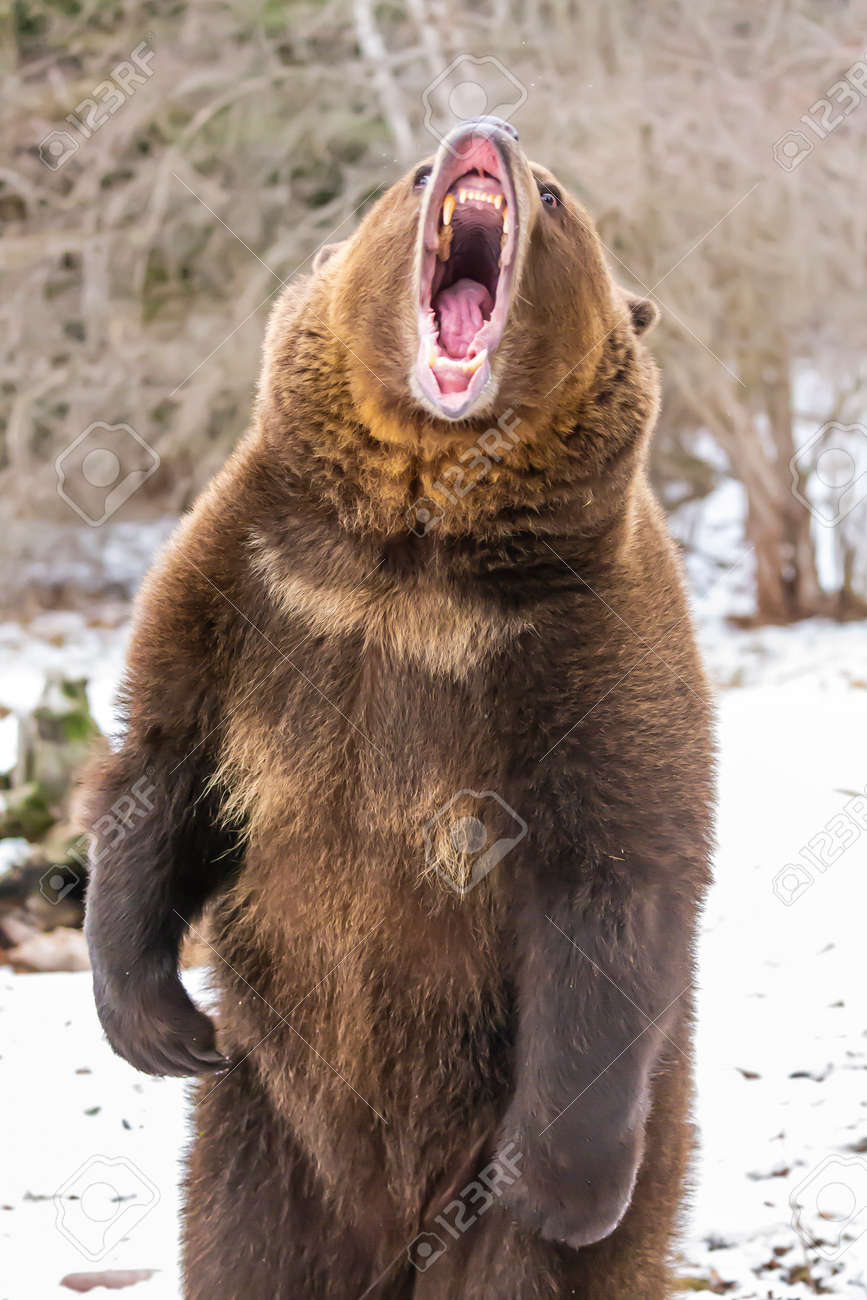 A Grizzly Bear enjoys the winter weather in Montana - 156073134