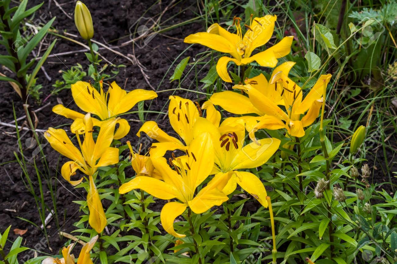 Banque d\u0027images , Grandes fleurs jaunes d\u0027un lis du jour dans un jardin