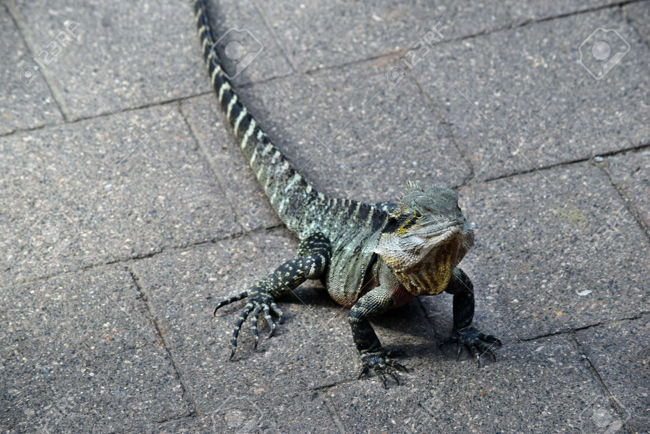 The Australian Lizard Eastern Water Dragon ( Physignathus ...