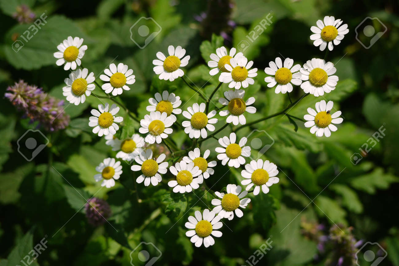 Branch With A Lot Of Small Daisy Flowers With White Petals And