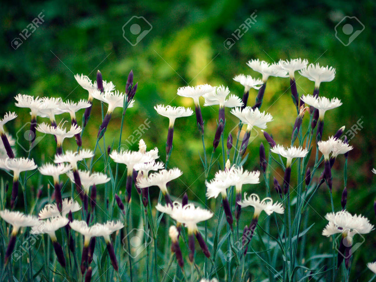 A row of white flowers of clove with truncated petals on a high a row of white flowers of clove with truncated petals on a high green stalk stock mightylinksfo
