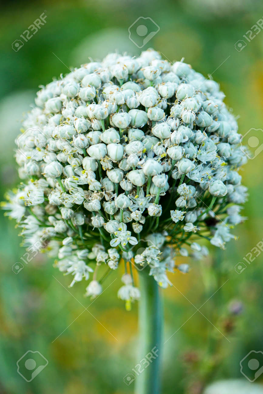 A Beautiful Bunch Of White Flowers With A High Green Stem On Stock