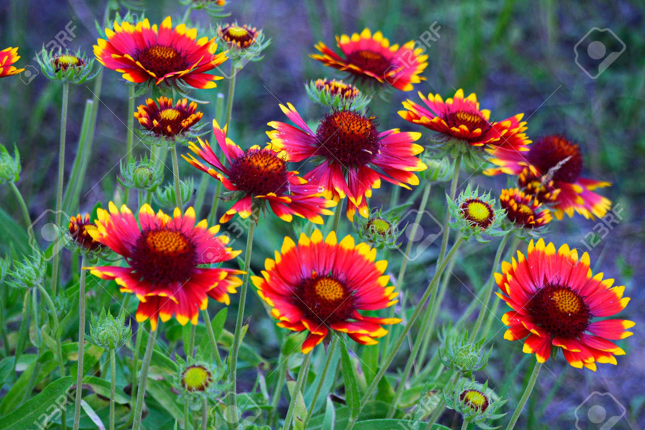 Large And Lush Flowers With Red Petals And Yellow Tips On High
