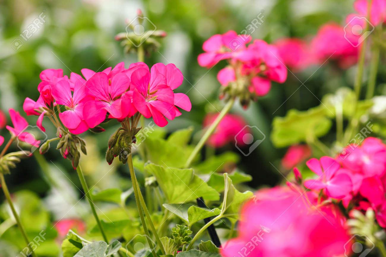 Pink geranium flower in garden summer stock photo picture and pink geranium flower in garden summer stock photo 75279586 mightylinksfo
