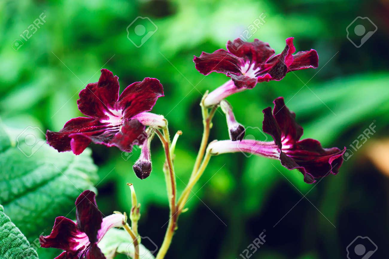 Beautiful streptocarpus flower in nature stock photo picture and beautiful streptocarpus flower in nature stock photo 96383732 izmirmasajfo