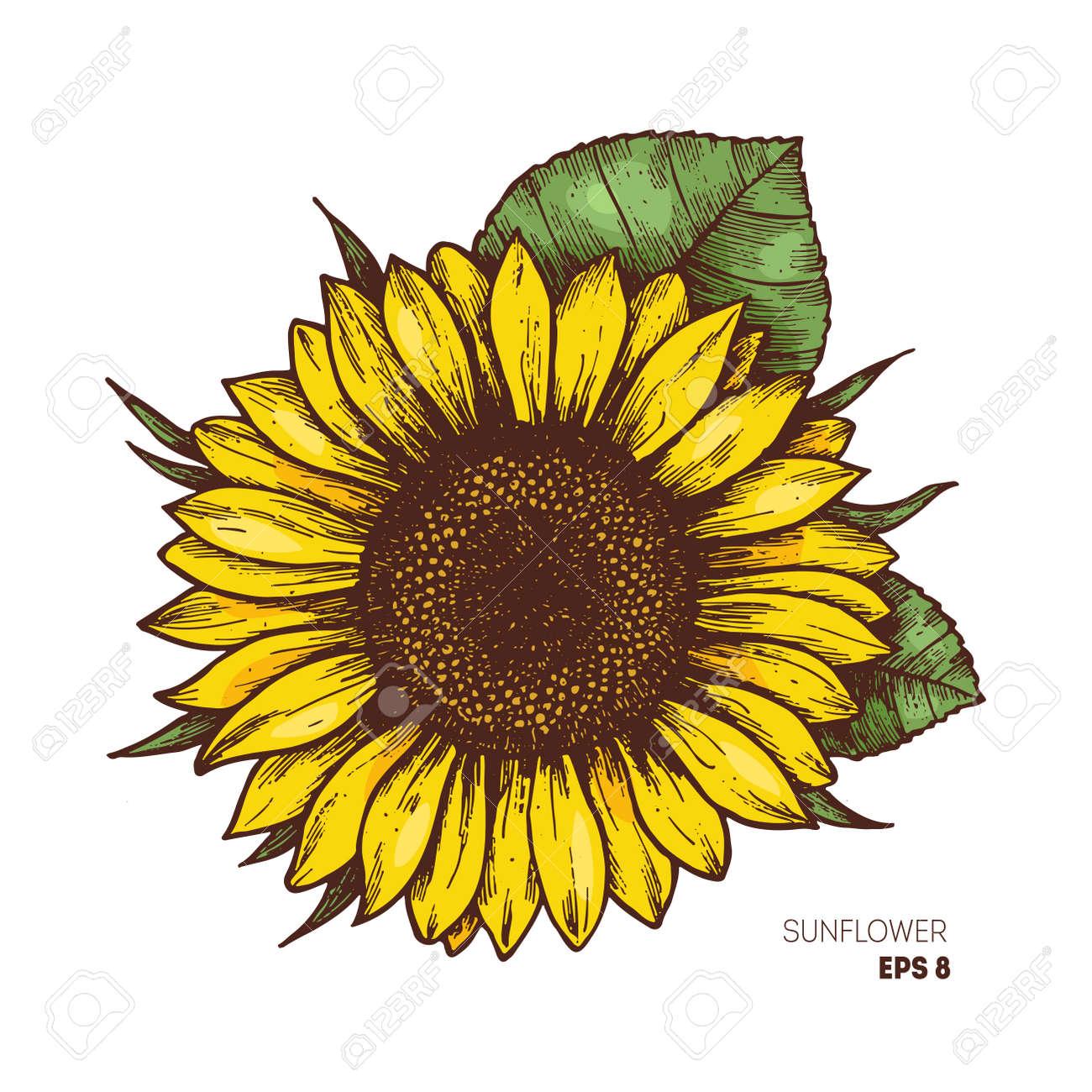 Sunflower vintage engraved illustration. Sunflower isolated . Vector illustration - 87877150