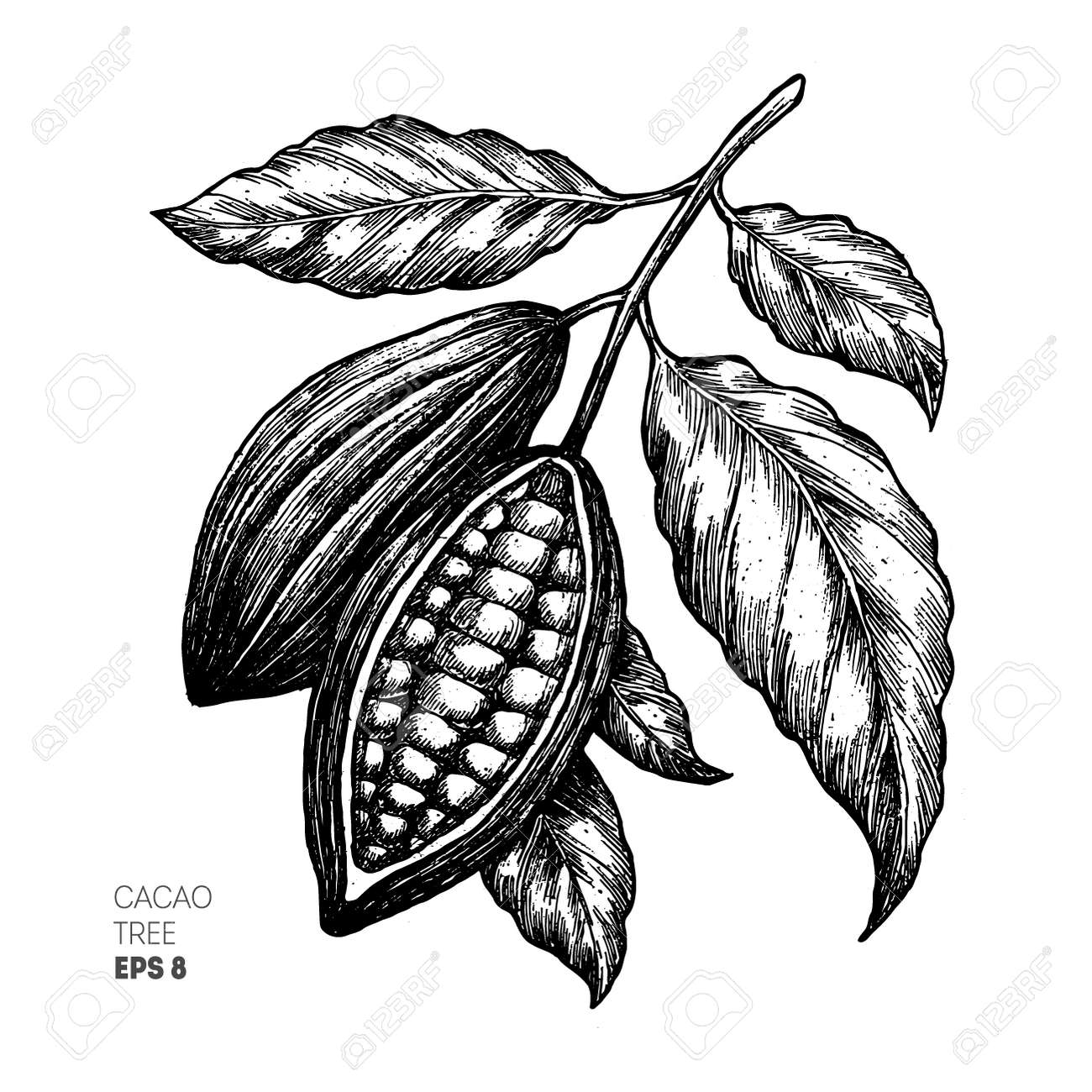 Cocoa beans illustration. Engraved style illustration. Chocolate cocoa beans. Vector illustration - 88551527