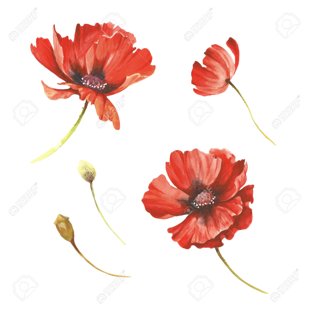 Set Of Poppies Flowers Hand Draw Watercolor Illustration Stock