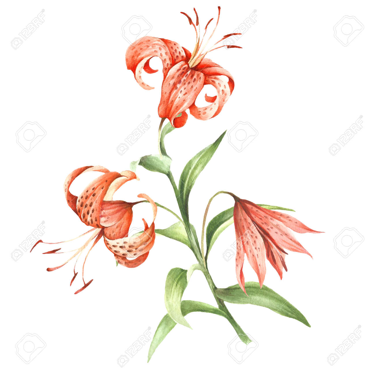 Image Tiger Lily Flowers Hand Draw Watercolor Illustration Stock