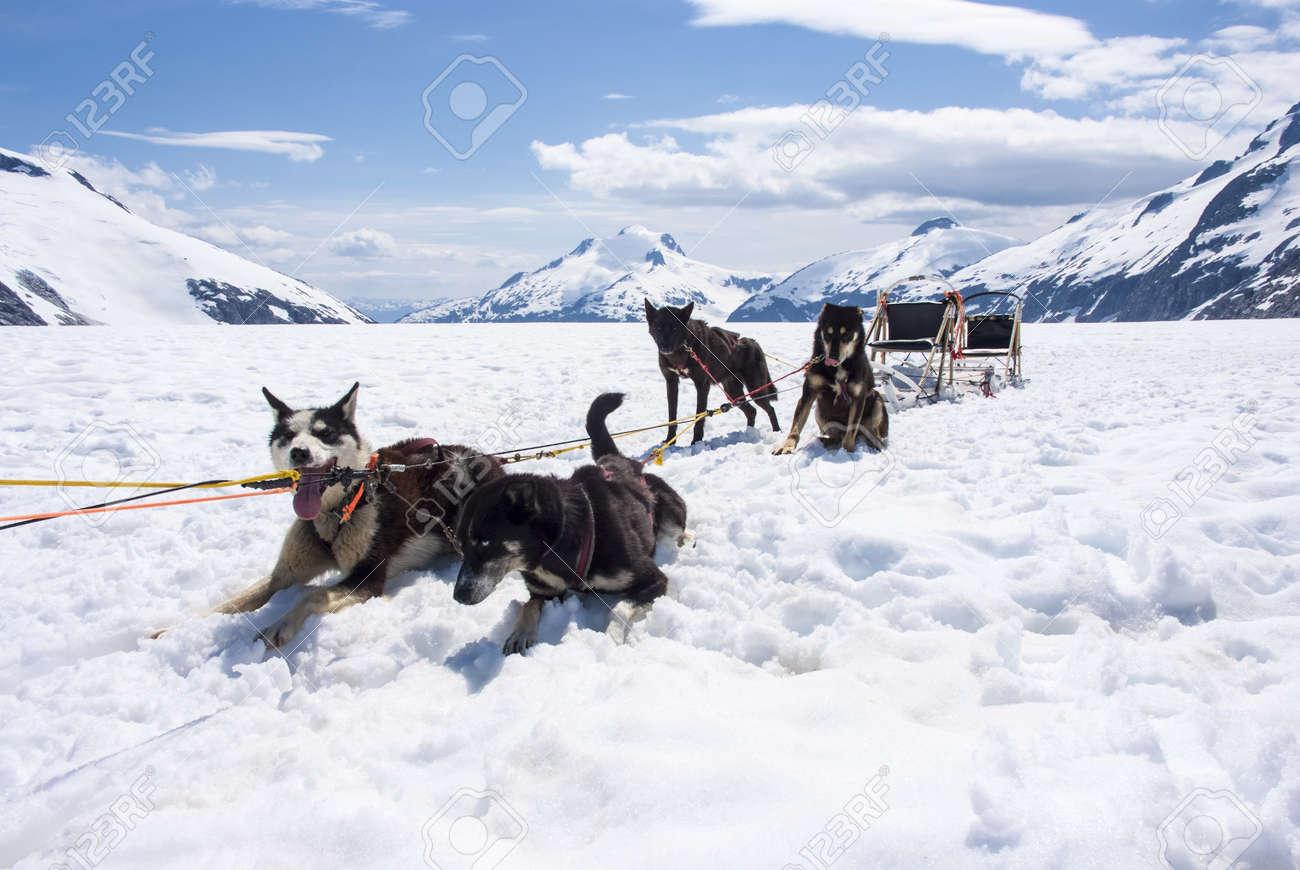 alaska dog sledding travel destination stock photo picture