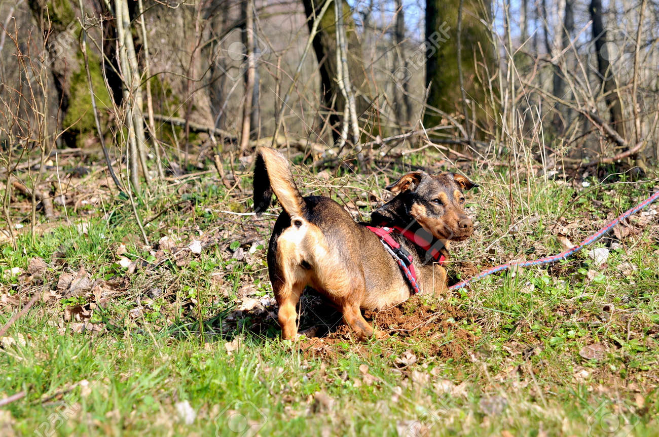 Funny Dachshund Puppy Is Digging Hole On O Meadow Stock Photo Picture And Royalty Free Image Image 144246828