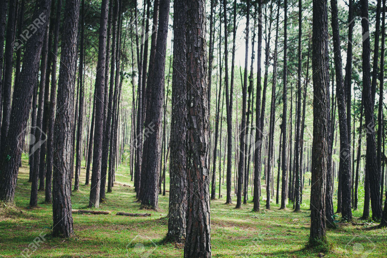 Forest pine trees. Nature green wood in autumn. Vintage color tone. - 169692125