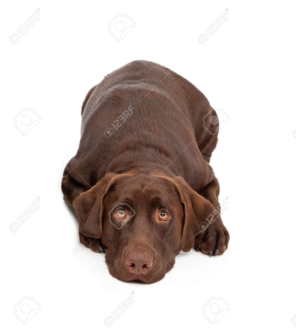 A One Year Old Chocolate Color Labrador Retriever Dogs Laying ...