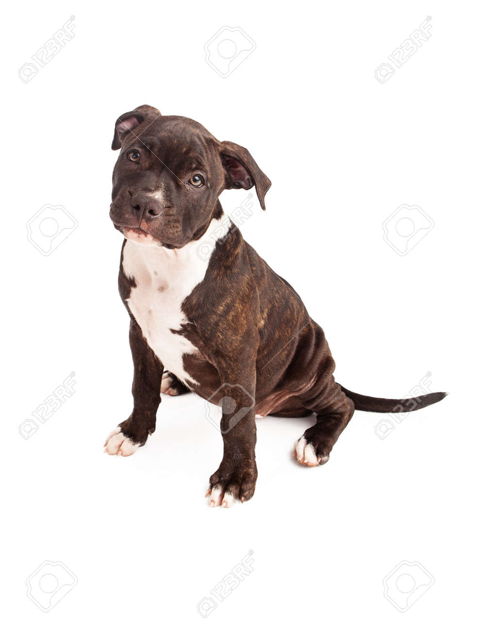 6d15c6385 A cute ten week old black and white bridle Pit Bull puppy sitting against a  white