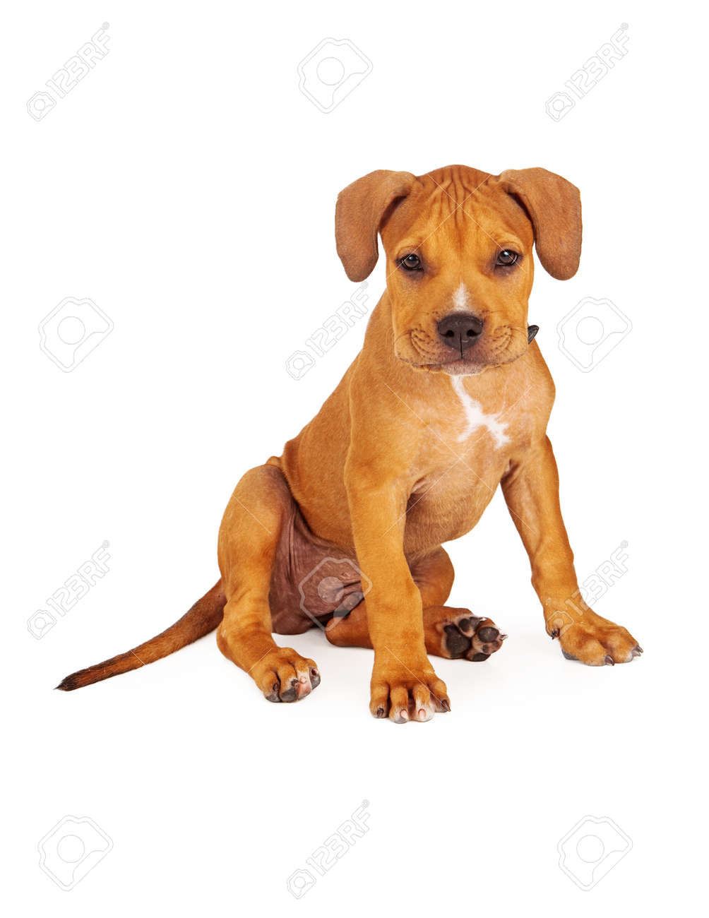 6dbe1a79a A cute ten week old Pit Bull breed puppy sitting against a white background  and looking