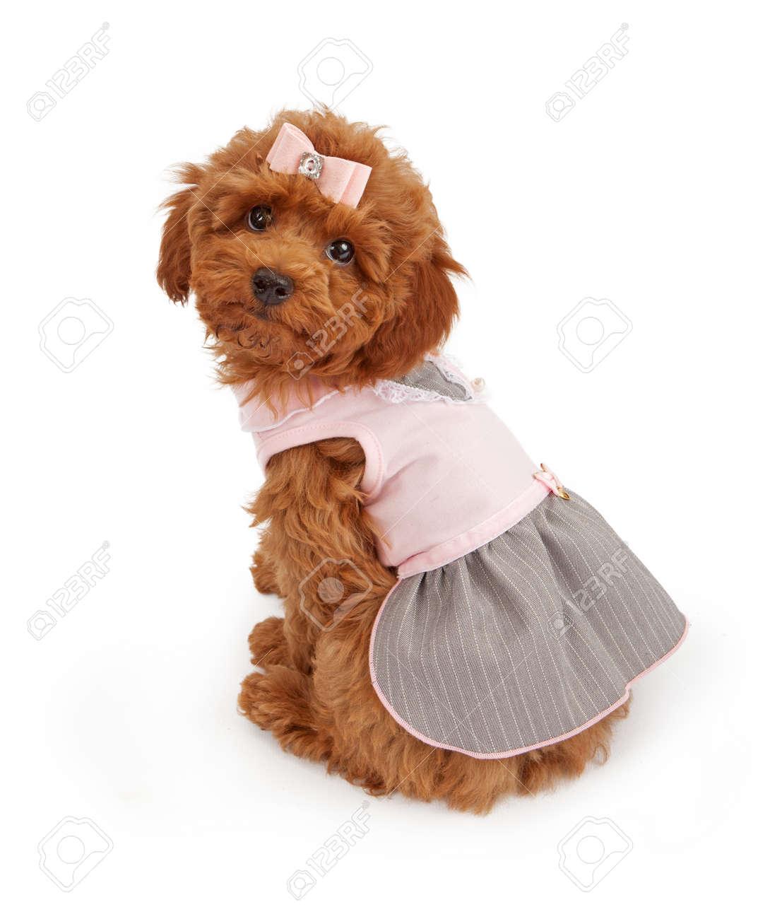 Eine Entzückende Pudel Welpe Trägt Eine Rosa Kleid Weiß Sitzen Vor ...