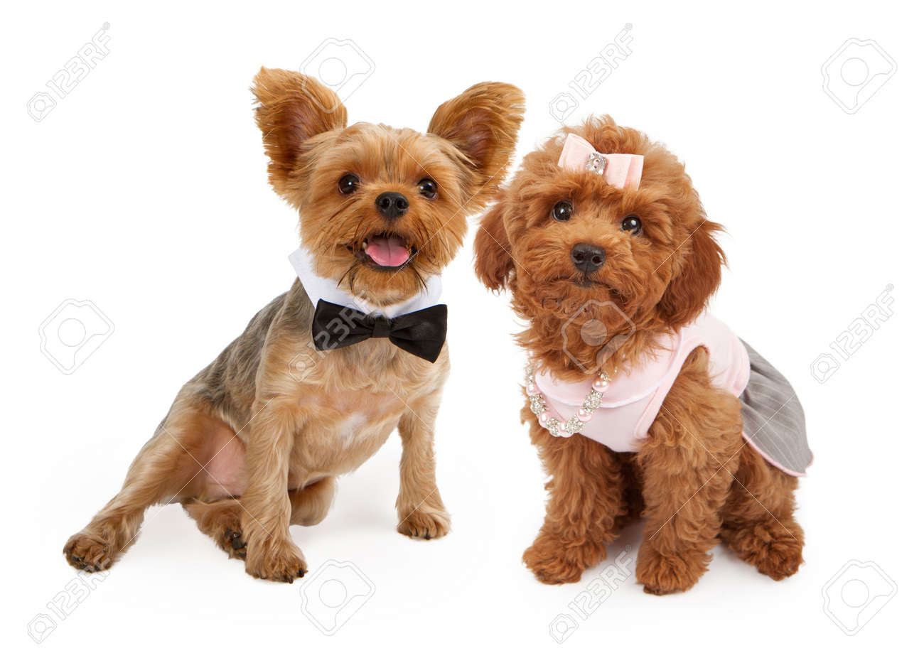 Top Puppies Bow Adorable Dog - 22890236-a-cute-young-red-poodle-puppy-wearing-a-pink-dress-hair-bow-and-pearl-and-rhinestone-necklace-and-an  Snapshot_166640  .jpg
