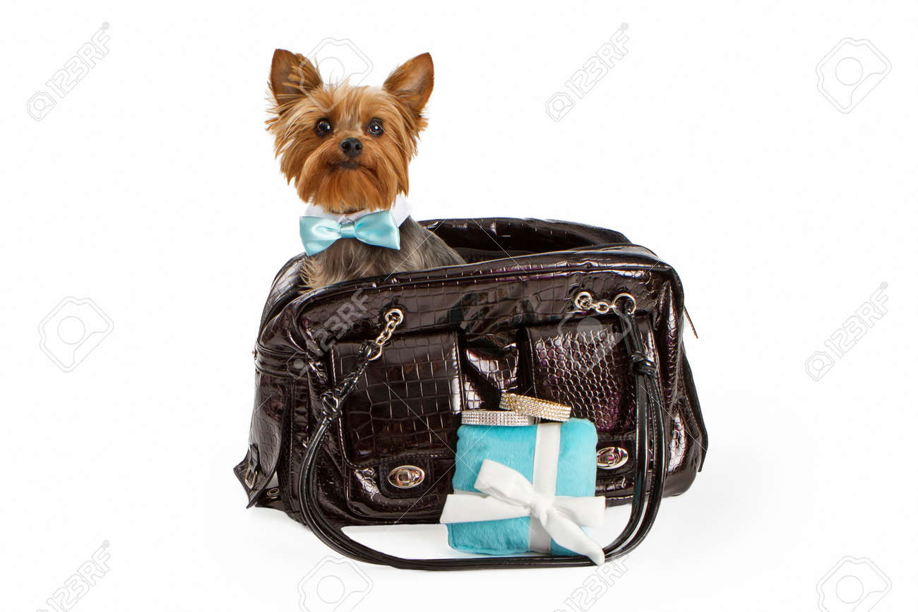Popular Terrier Bow Adorable Dog - 22890344-an-adorable-little-yorkshire-terrier-dog-wearing-a-fancy-formal-bow-tie-sitting-in-a-designer-pet-tr  HD_842341  .jpg