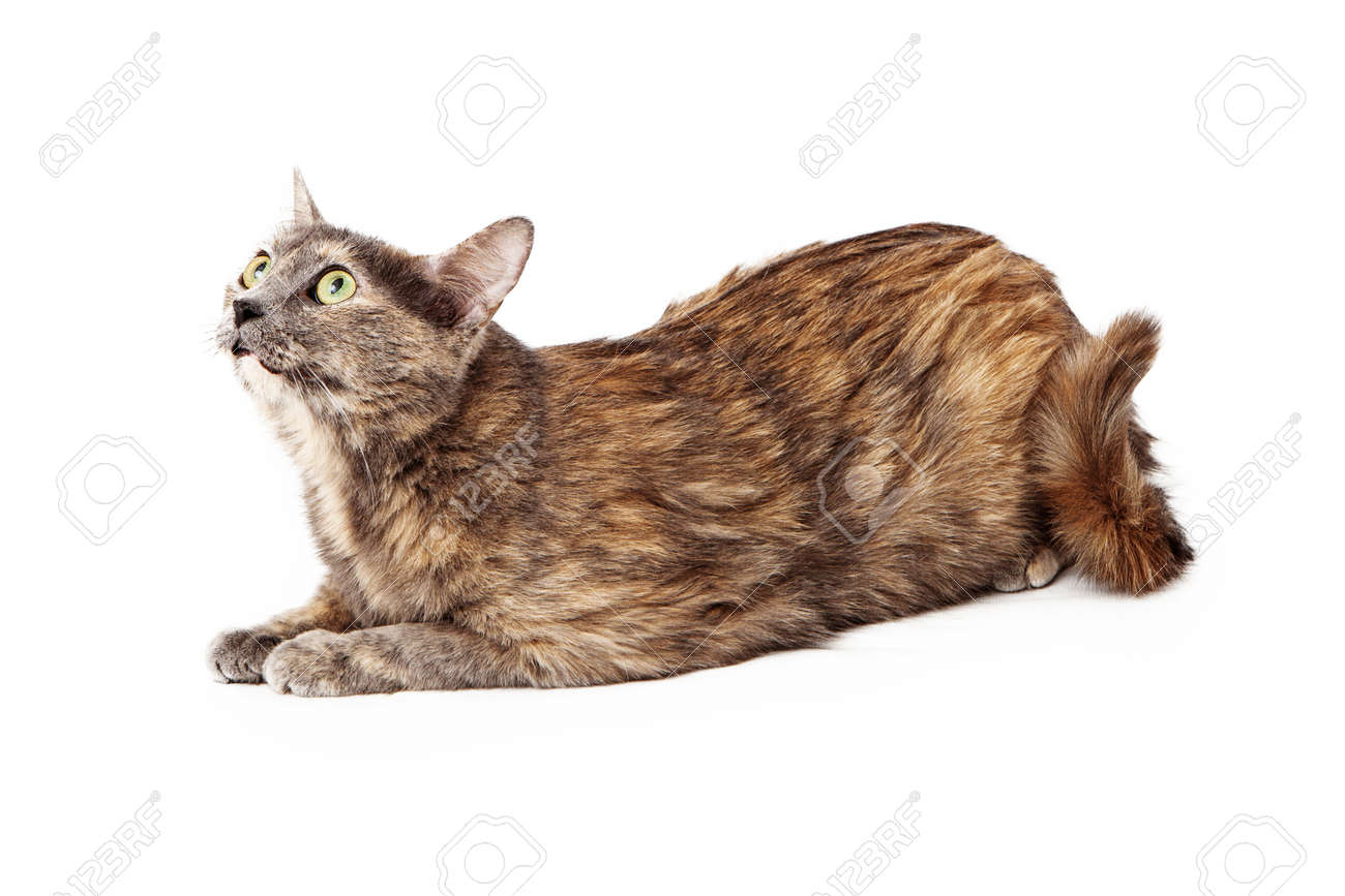Calico cat curiously looking up isolated on white . Stock Photo - 25850572
