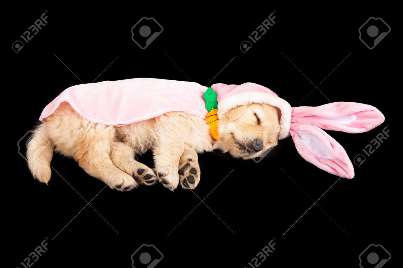 A Sleeping Six Week Old Golden Retriever Puppy Wearing An Easter Stock Photo Picture And Royalty Free Image Image 27756173