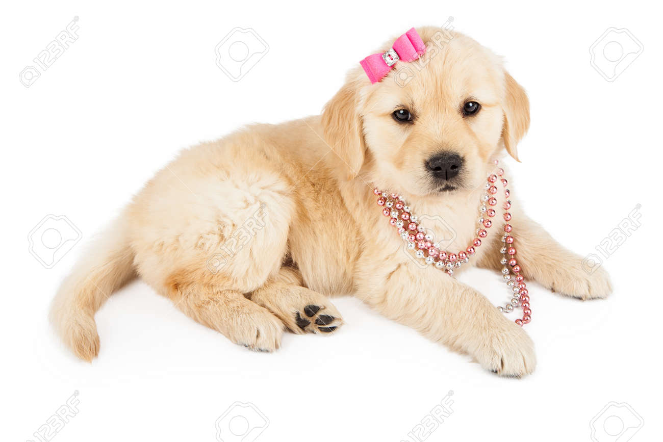 A Cute Golden Retriever Puppy Wearing A Pink Necklace And Hair