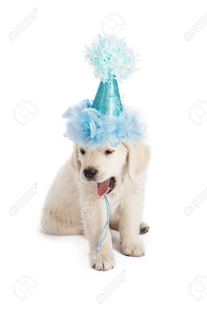 Golden Retriever Puppy Wearing A Blue Party Hat And Yawning Stock