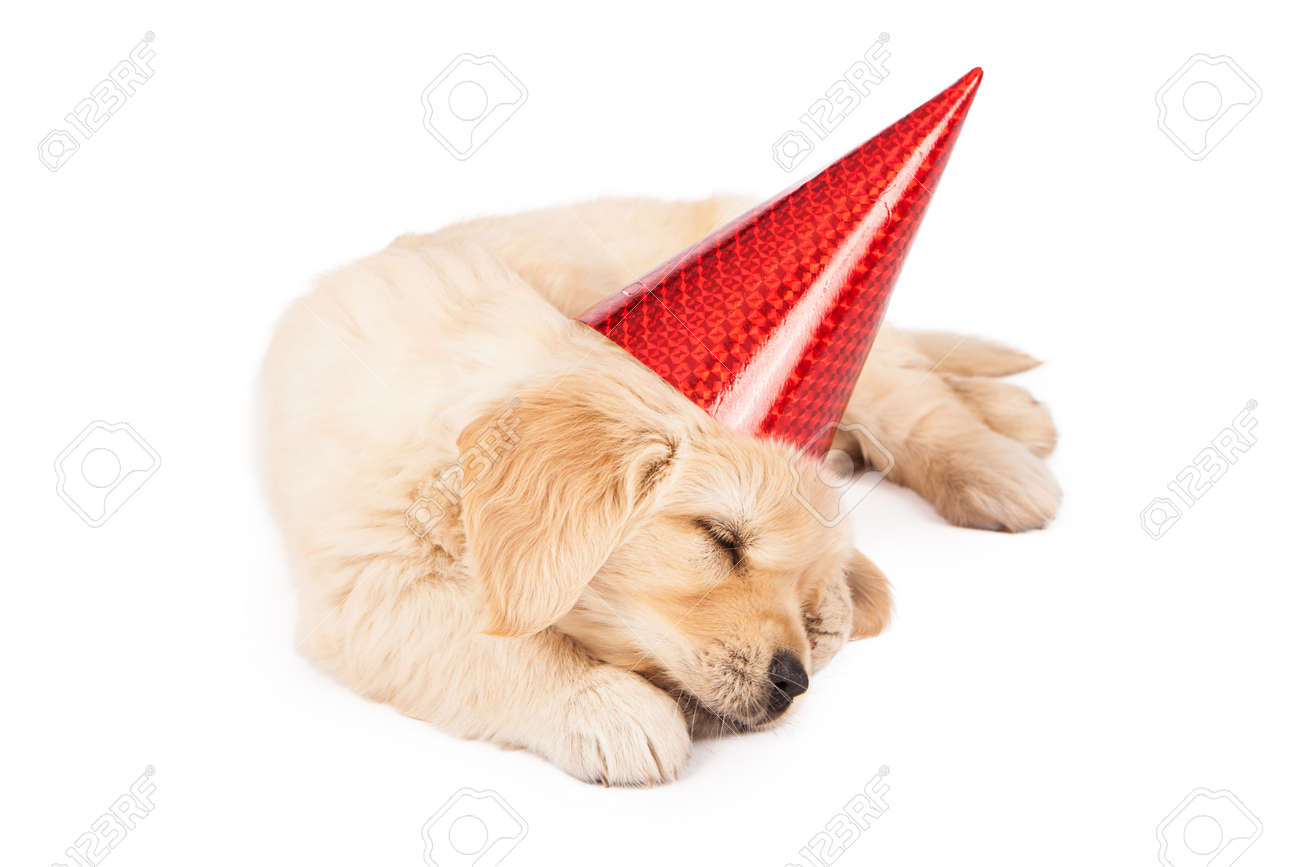 A Six Week Old Golden Retriever Puppy Wearing A Red Party Hat